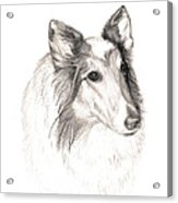 Remembering Maggie - A Tribute To A Collie Acrylic Print