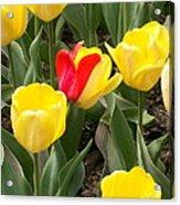 Renegade Tulip Acrylic Print