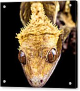 Reptile Close Up On Black Acrylic Print