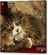 Rescue Cat Living In The Lap Of Luxury Acrylic Print