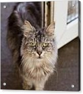 Rescue Cat Looks For Forever Home Acrylic Print