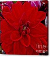 Resoundingly Red Acrylic Print