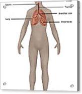 Respiratory System In Female Anatomy Acrylic Print