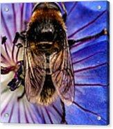 Resting Bee Acrylic Print
