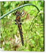 Resting Brown Dragonfly Acrylic Print