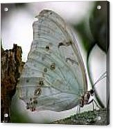 Resting Butterfly Acrylic Print