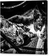 Resting Cats Acrylic Print