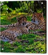 Resting Cheetahs Acrylic Print