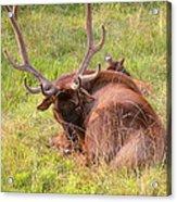 Resting Elk Acrylic Print