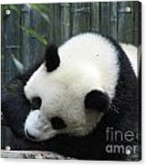 Resting Giant Panda Bear Acrylic Print