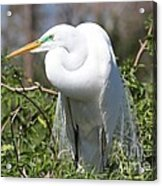 Resting Great Egret Acrylic Print