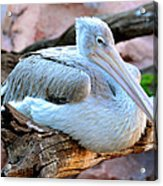 Resting Great White Pelican Acrylic Print