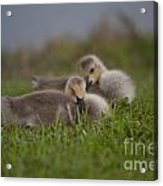 Resting Our Eyes Acrylic Print