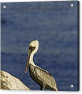 Resting Pelican Acrylic Print