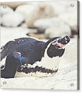 Resting Penguin Acrylic Print