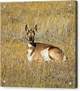 Resting Pronghorn Acrylic Print by Sarah Crites
