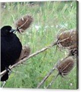 Resting Red-winged Blackbird  Acrylic Print