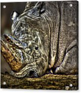 Resting Rhino Acrylic Print