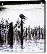 Resting Seagull  Acrylic Print