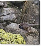 Resting Seal Acrylic Print