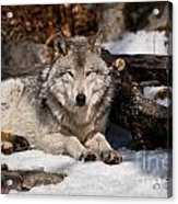 Resting Timber Wolf Acrylic Print