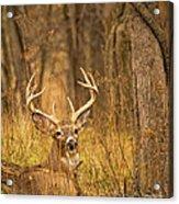 Resting White-tailed Deer Buck Acrylic Print