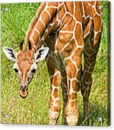 Reticulated Giraffe 6 Week Old Calf Acrylic Print