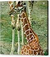 Reticulated Giraffe And Calf Acrylic Print