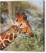 Reticulated Giraffe Browsing Acacia Kenya Acrylic Print