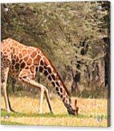 Reticulated Giraffe Drinking At Waterhole Kenya Acrylic Print