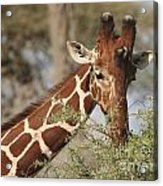 Reticulated Giraffe Feeding On Acacia Acrylic Print