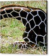 Reticulated Giraffe On Ground Acrylic Print