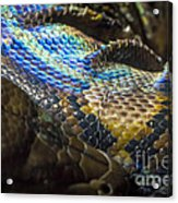 Reticulated Python With Rainbow Scales 2 Acrylic Print