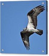 Returning Osprey Acrylic Print