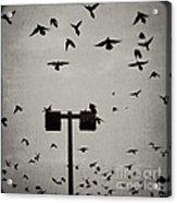 Revenge Of The Birds Acrylic Print