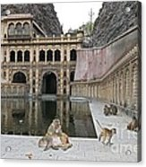 Rhesus Monkeys At An Indian Temple Acrylic Print