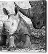 Rhino And Baby Acrylic Print
