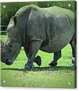 Rhino And Friend Acrylic Print
