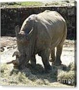 Rhino Eating Acrylic Print