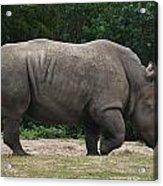 Rhino In The Wild Acrylic Print