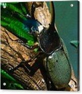 Rhinoceros Beetle Acrylic Print