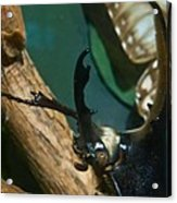Rhinoseros Beetle Up Close And Personal Acrylic Print