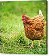 Rhode Island Red Chicken Acrylic Print
