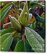 Rhododendron - Frosted Flowerheads Acrylic Print