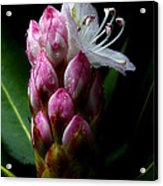 Rhododendron Begining Acrylic Print