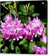 Rhododendron Closeup Acrylic Print