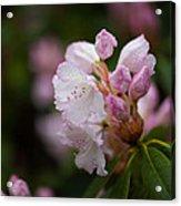 Rhododendron Enborne Acrylic Print
