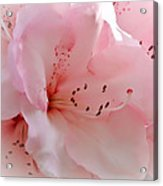 Pink Rhododendron Flower Acrylic Print