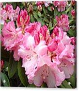 Rhododendron Garden Art Prints Pink Rhodie Flowers Acrylic Print
