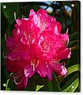 Rhododendron Glow Acrylic Print